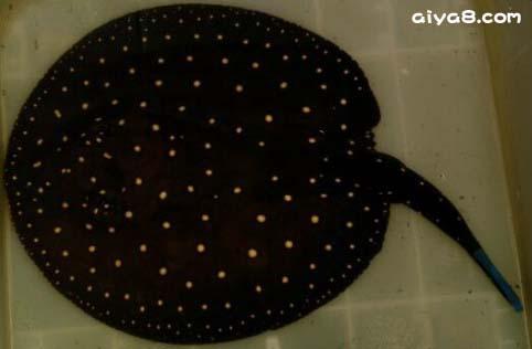 细点满天星黑白虹鱼