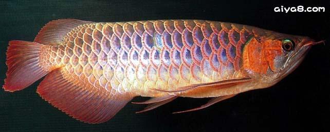 血红龙鱼图片