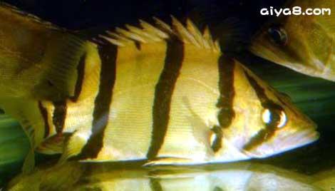 泰国日型虎(细纹型)