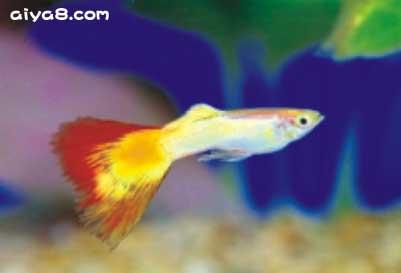 白金火焰孔雀鱼