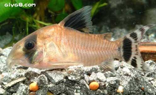 奥伯根鼠鱼
