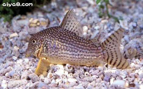 红翅珍珠鼠鱼