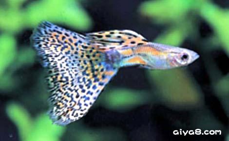 红草尾孔雀鱼图片