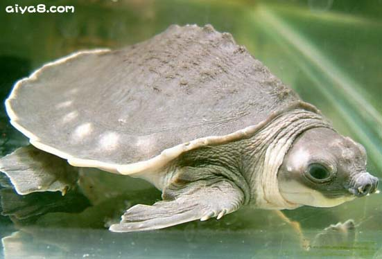 猪鼻龟知识