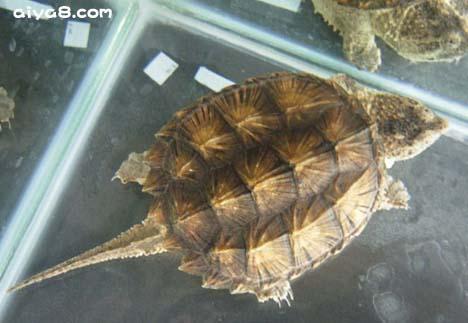 一个温室赚30万 鳄龟温室养殖经济效益分析