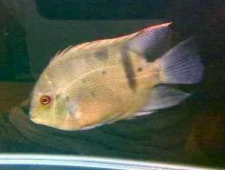亚论塔波箩鱼
