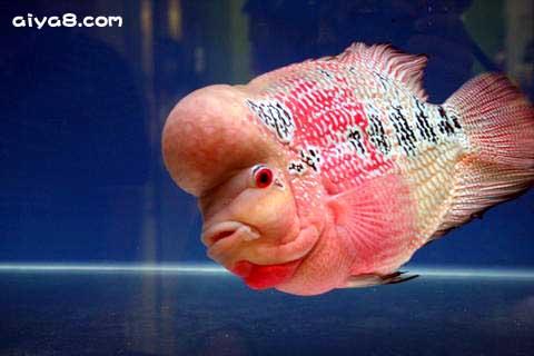 如何繁殖罗汉鱼