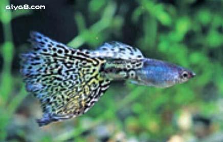 金属蛇王孔雀鱼