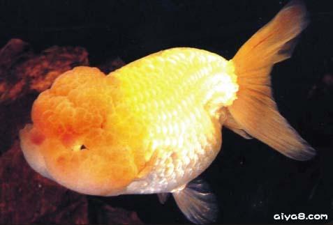 金鱼出血病的成因及治疗方法