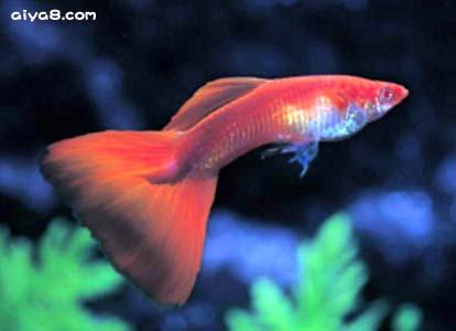红头佛朗明哥孔雀鱼