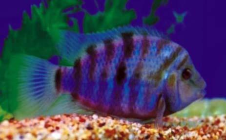 九间波罗观赏鱼