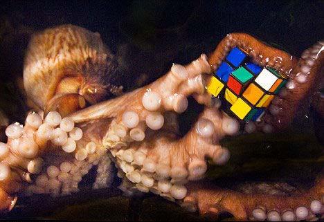 """英国科学家让章鱼玩魔方观察其惯用""""手""""(图)"""