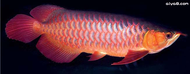 亚洲龙鱼介绍