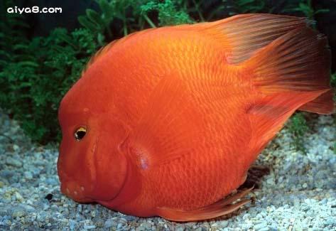 达摩血鹦鹉鱼