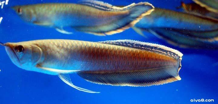 各种龙鱼的特点三