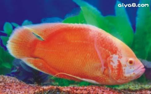 热带鱼血红猪