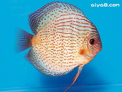 人工红点七彩神仙鱼