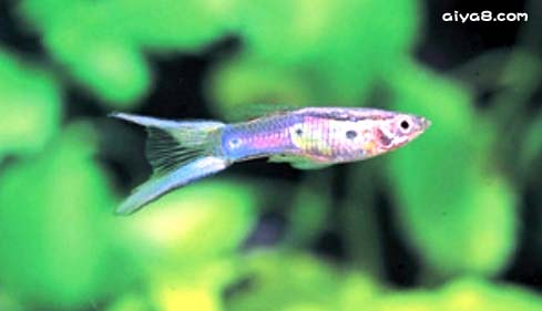 双剑尾孔雀鱼