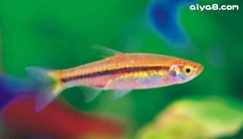 小型观赏鱼红尾金线灯