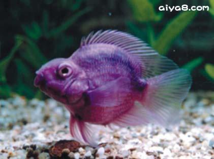 茄子鹦鹉鱼