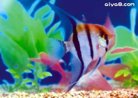 斑马神仙鱼