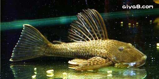 黄尾蛇纹异型鱼