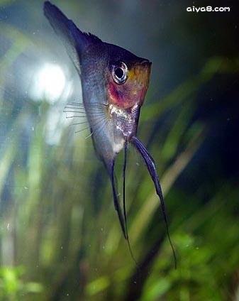 漂亮的神仙鱼