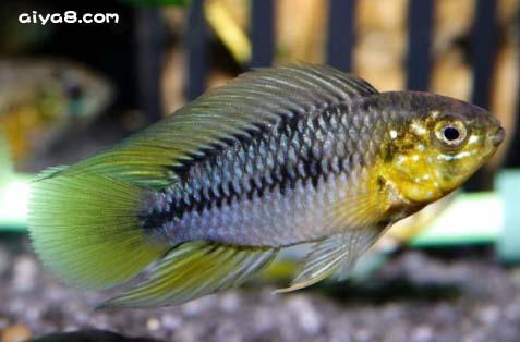 玻利维亚�S金短鲷