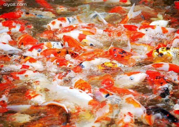 锦鲤鱼群抢食