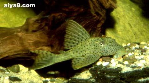 绿皮斑点豹异型鱼