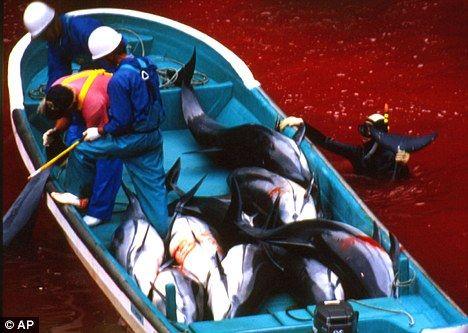 日本太地町渔民大规模砍杀海豚手段极其残忍