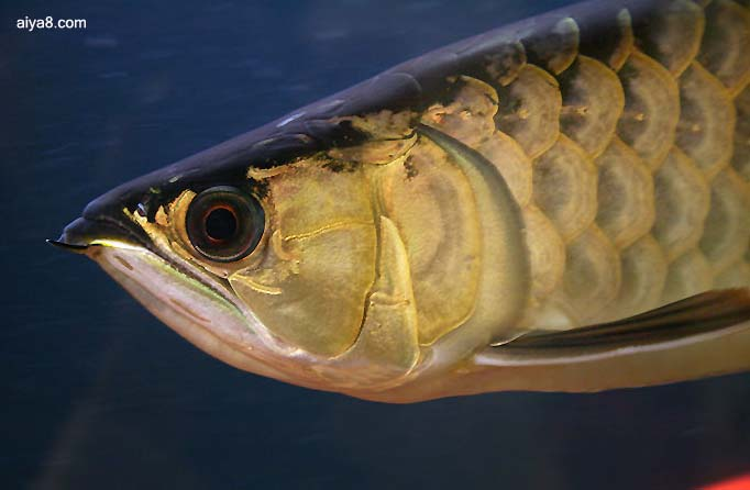 龙鱼蚀斑症病因与防治方法