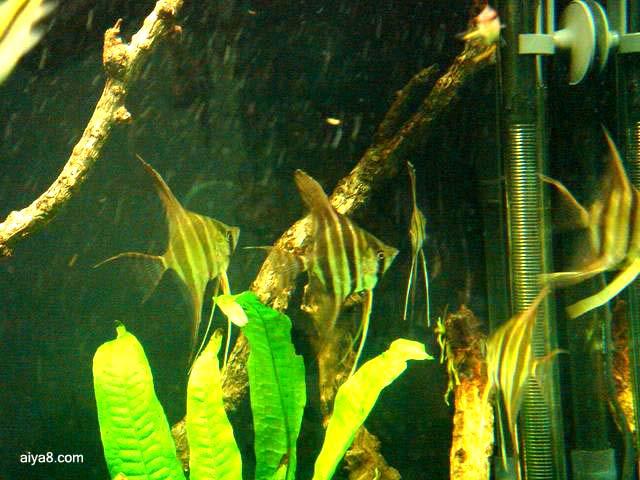 野生埃及神仙小鱼