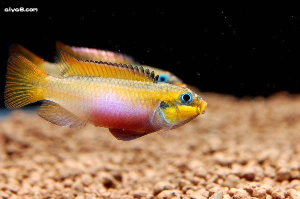 短鲷鱼的常见病及治疗