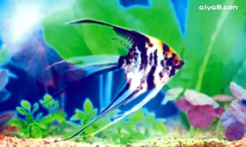 大理石神仙鱼一尾