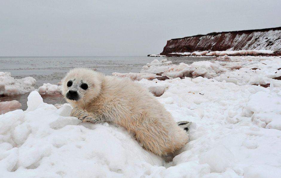 数千只竖琴海豹丧命