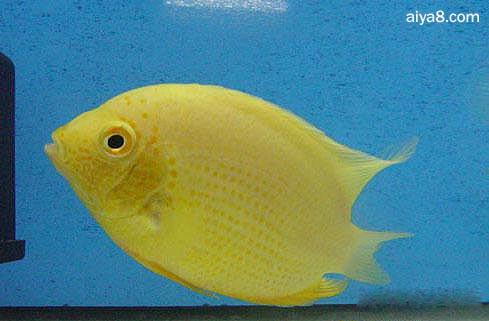 菠萝鱼繁殖方法