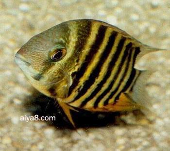 英丽鱼繁殖