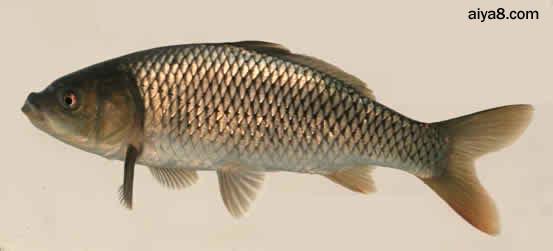 星云湖纯种大头鲤灭绝―专家称外来物种入侵