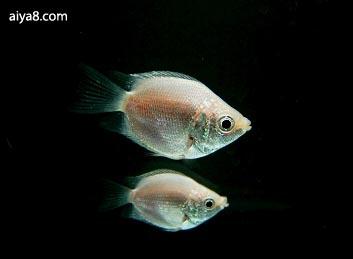 接吻鱼繁殖