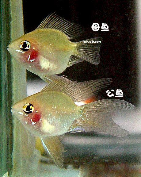 短鲷鱼的真菌性疾病