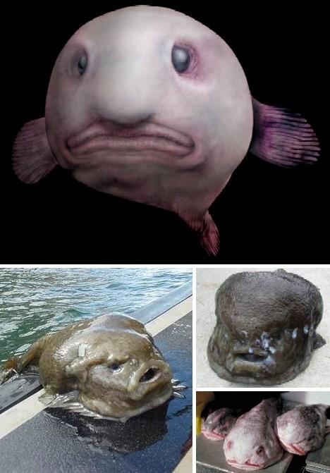 水滴鱼最丑陋鱼
