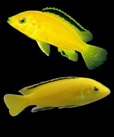 非洲王子鱼如何分辩公母