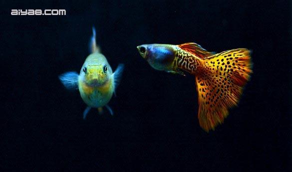 马赛克 孔雀鱼/马赛克孔雀鱼