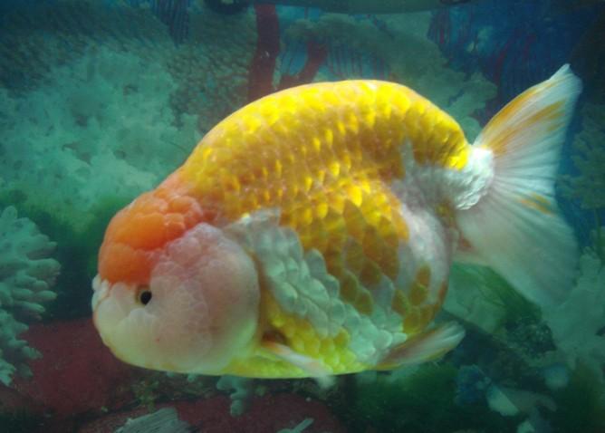 金鱼肠炎的成因及治疗方法