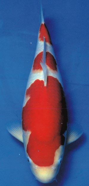 红白锦鲤图