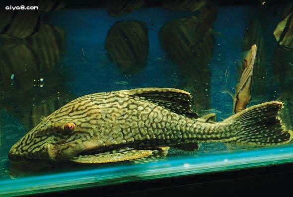 钻石皇冠豹异型鱼