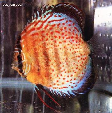 红点绿七彩神仙鱼一尾