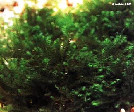 玫瑰苔水草