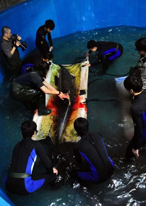 紧急救治背鳍撕裂海豚